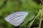 Close wing position of Pareronia avatar Moore, 1857 – Pale Wanderer Butterflies of Pakke - 19.jpg