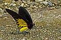 Close wing position of Troides helena Linnaeus, 1758 – Common Birdwing WLB DSC 8713.jpg