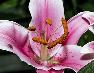 Stamen - Closeup of stamens and stigma of Lilium 'Stargazer'