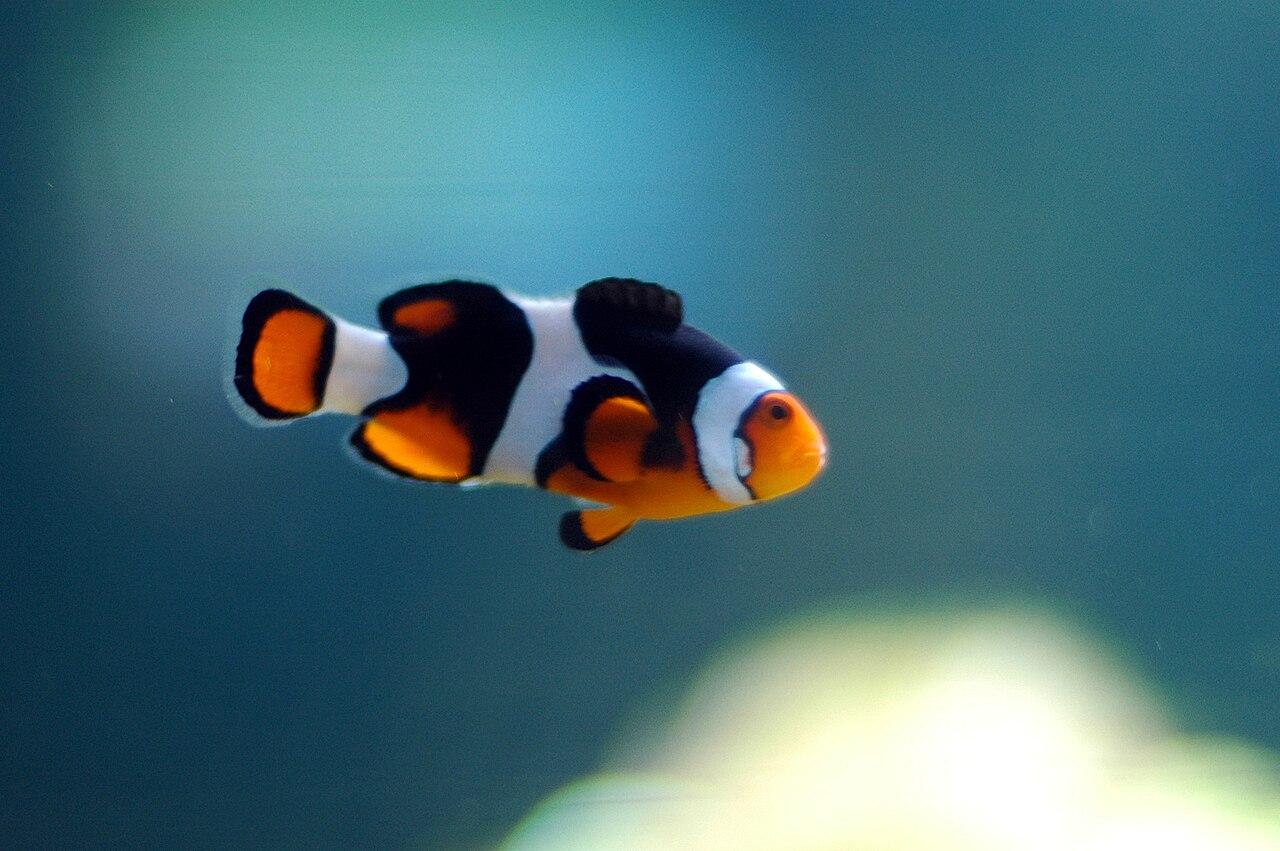 File:Clown Fish Swimming.jpg