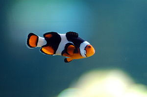 Amphiprioninae - A clownfish swimming