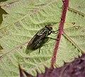 Cluster Fly. Pollenia species (49399946077).jpg