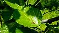 Coccinellidae in Yerevan 02.jpg