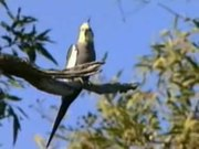 File:Cockatiel pikedale.ogv