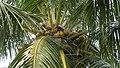 Coconut Tree in Visakhapatnam.JPG