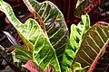 Codiaeum variegatum 34zz.jpg