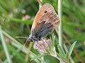 Coenonympha pamphilus 140682912.jpg