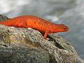 Cohutta Wilderness Salamander.jpg
