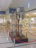 Cole Museum of Zoology Elephant Skeleton.JPG