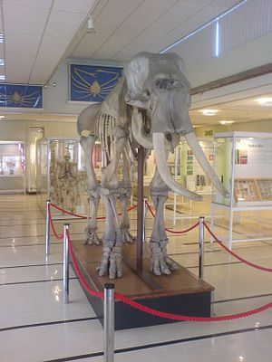 Cole Museum of Zoology - The skeleton of the circus elephant that dominates the main floor of the museum