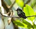 Colibri huppé dans la Réserve Naturelle de la Presqu'île de la Caravelle.jpg
