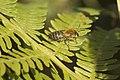 Colletes hederae (abeilles du lierre).jpg