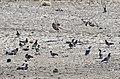 Columba livia - Rock doves, Malatya 2018-09-29 01.jpg