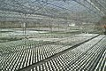 Commercial glasshouse at Banks, Lancashire, England.jpg