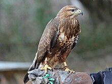 Liste des prédateurs des poules. 220px-Common_Buzzard_RWD