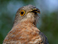 Common Hawk Cuckoo (Cuculus varius) in Hyderabad W2 IMG 7384.jpg