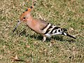 Common Hoopoe (Upapa epops) at Hodal I IMG 9016.jpg