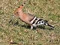 Common Hoopoe (Upapa epops) at Hodal I IMG 9016.jpg