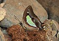 Common Nawab Polyura athamas by Dr. Raju Kasambe DSCN5879 (7).jpg