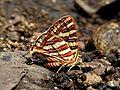 Common Silverline Spindasis vulcanus UN SGNP by Dr. Raju Kasambe DSCF1480 (3).jpg