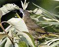 Common Yellowthroat (4285089457).jpg