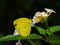 Common grass yellow butterfly.JPG