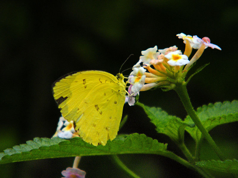 File:Common grass yellow butterfly.JPG