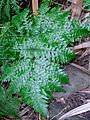 Common lowland fern Lord Howe Island.jpg