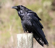 Common raven by David Hofmann.jpg
