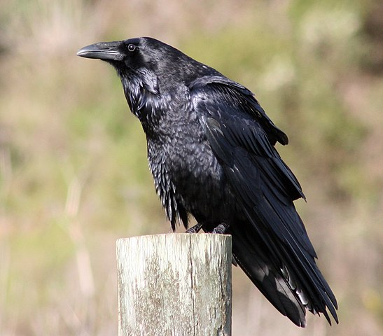 Wikipedia: Common Raven