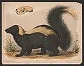 Common skunk - Mephitis mephitica - E.K. LCCN2017660725.jpg