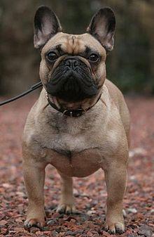 french bulldog   wikipedia