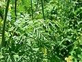 Conium maculatum leaf (01).jpg