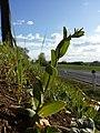 Conringia orientalis sl37.jpg