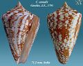 Conus amadis 1.jpg