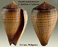 Conus figulinus x glaucus 4.jpg