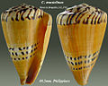 Conus mustelinus 1.jpg