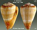 Conus salreiensis 2.jpg
