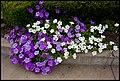Coonabaraban Purple-White Petunas-1+ (2153548931).jpg