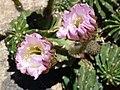 Coonly Garden, Echinopsis eyriesii - Eyries Echinopsis - panoramio.jpg