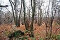 Coppiced trees in Pembury Woods - geograph.org.uk - 1065305.jpg