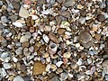 Coral fragments along mollusks and stones at Thotlakonda beach.JPG