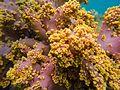 Coral mole.jpg