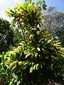 Cordyline fruticosa @ Botanico.jpg