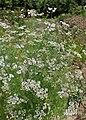 Coriandrum sativum 'Cilantro' kz01.jpg