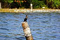 Cormorant with Net.jpg