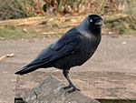 Corvus monedula -Bushy Park, Richmond upon Thames, London-8.jpg
