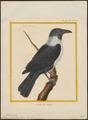 Corvus scapulatus - 1700-1880 - Print - Iconographia Zoologica - Special Collections University of Amsterdam - UBA01 IZ15700249.tif