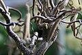 Corylus avellana Contorta 5zz.jpg