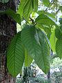 Couroupita guianensis (6).JPG